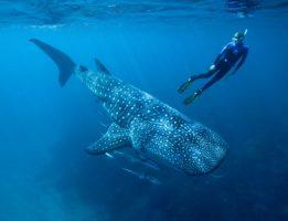 Дайвер с китовой акулой